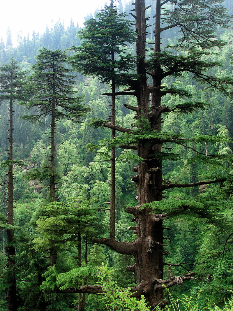the deodar tree Devadaru – cedrus deodara uses, research, side effects himalayan cedar – cedrus deodara is extremely useful in neurological disorders, asthma, pruritus, fever, infested wounds deodar oil is also used in arthritis, headache etc.